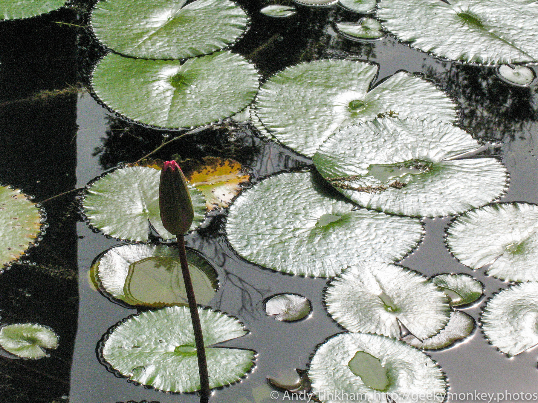 Water Lily Lily Pads Geeky Monkey Photos Andy Tinkham
